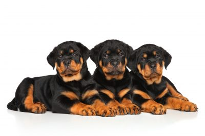 Rottweiler dog puppies lying down on a white background