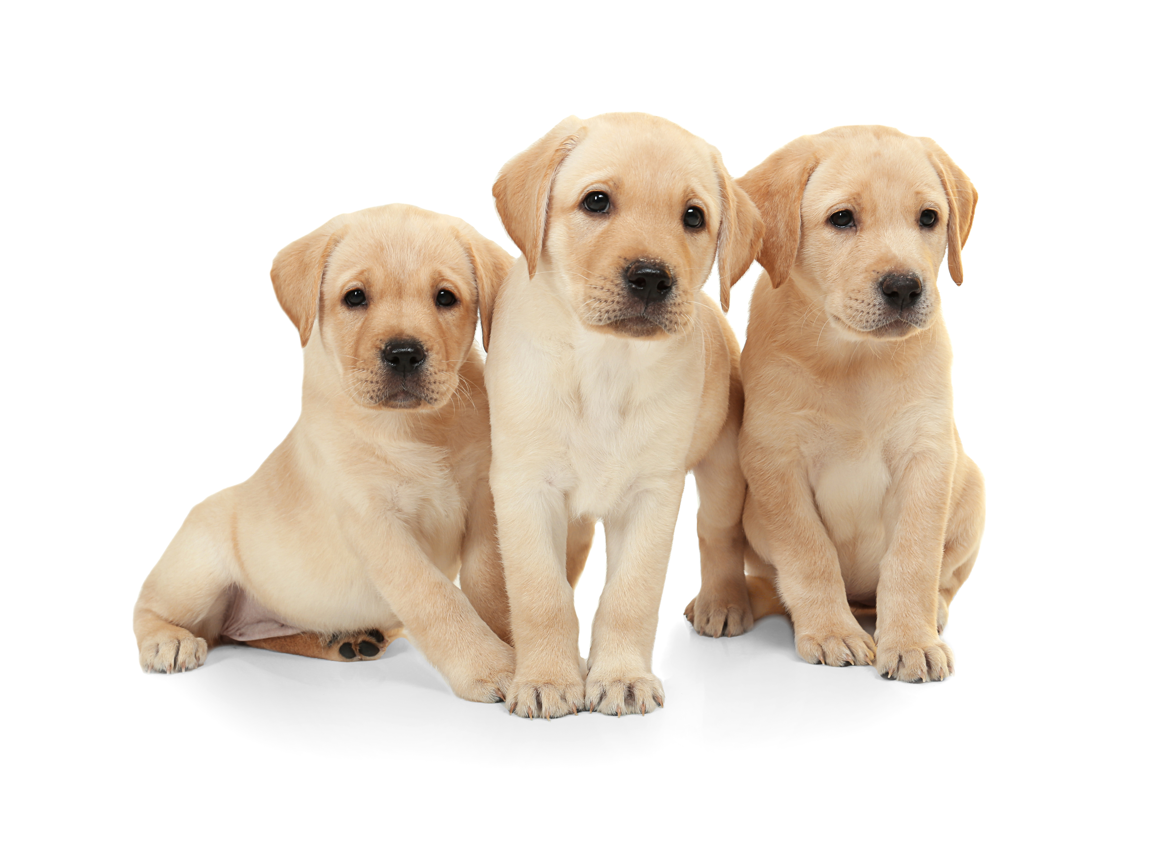 Cute labrador retriever puppies on white background