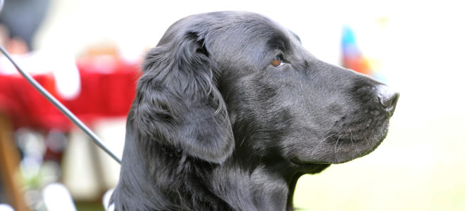 L'offre Génomique de la Centrale Canine : qu'est-ce que c'est ?